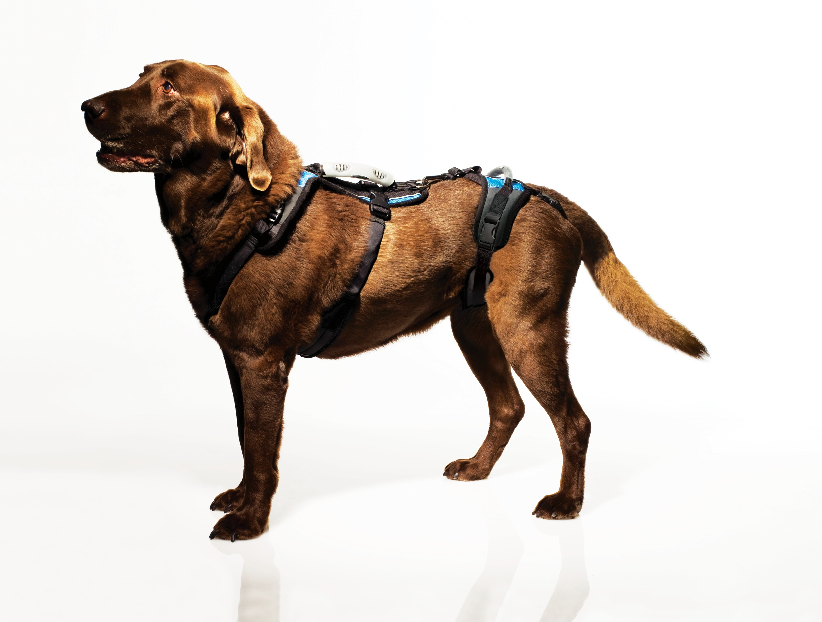 dog body harness how to put on